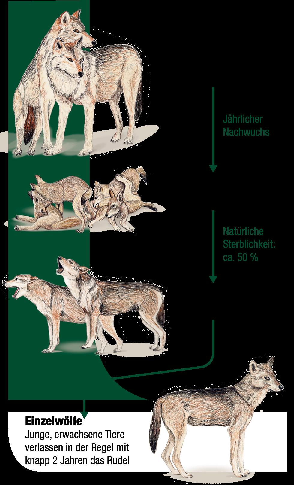 Rangordnung Wölfe